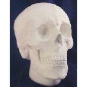 Anatomical Skull - Fiberglass - Indoor/Outdoor Statue/Sculpture