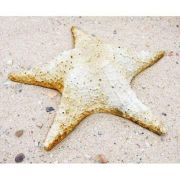 Starfish Pacific Wall 11in. Fiber Stone Resin Indoor/Outdoor Statue